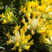 Anthyllis vulneraria - Kidney Vetch - 5 grams - Bulk Discounts available